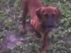 Redbone Coonhound, 4 months, red